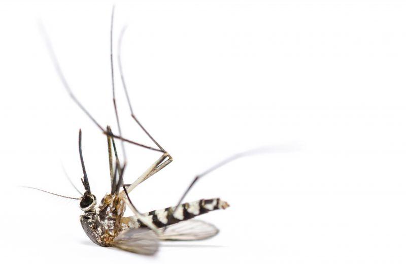 zanzara.jpg